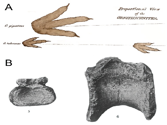 """Earliest historical records of theropod remains in North America (A) and South America (B). A) Theropod footprints referred to the ichnospecies Ornithichnites giganteus and O. tuberosus from the Lower Jurassic of the Connecticut River, Massachusetts, and first reported and illustrated by Hitchcock (1836: plate appended """"Proportional view of the Ornithichnites""""; modified); B) Caudal centrum of a theropod ('5') and dorsal centrum of a ?neovenatorid theropod ('6'), from the Upper Cretaceous of the Neuquén region, Argentina, and first described and illustrated by Lydekker (1893: plate 3)"""