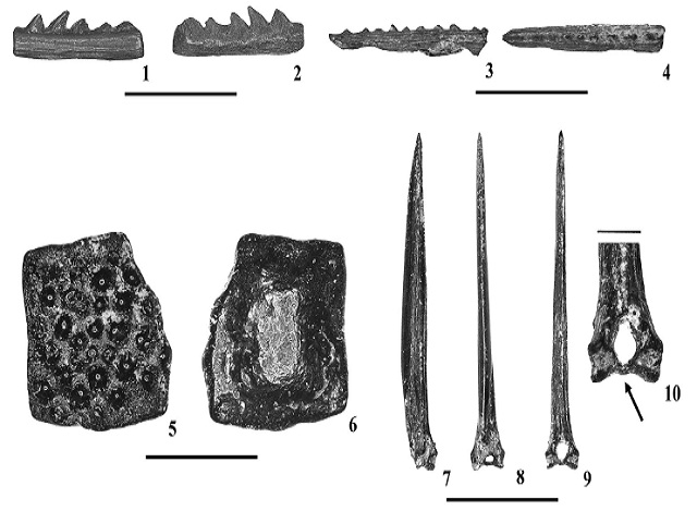 Indeterminate osteichthyan remains from the Tallahatta–Lisbon Formation contact, Pigeon Creek, near Red Level, Conecuh-Covington Counties, Alabama; 1-4) Ariidae gen. indet. (NJSMGP: 24045); 5-6) Ostraciidae gen. indet. Dermal ossicle (NJSMGP: 24046); 7-10) Cf. Beryciformes fin spine (NJSMGP: 24036). Scale bars for 1-9 = 1 cm; 10 = 1 mm. Orientations: 1, 2, 3, 5, 7 = lateral view; 4 = dorsal view; 8 = anterior view; 9-10 = posterior view. Arrow denotes the lumen and solid basal bar on the fin spine