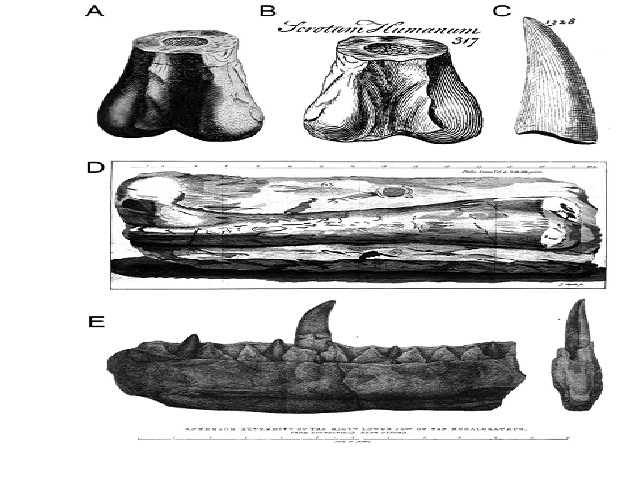 Earliest historical records of theropod remains in the world. A-B) Distal part of a left femur of Megalosaurus from Cornwell, U.K., in posterior view, and first reported by Plot (1677); A, illustrations by Plot (1677, table 8, fig.4); and B, Brookes (1763, p. 312, figure 317) showing the label 'Scrotum Humanum'; C) Isolated theropod tooth (likely Megalosaurus) from the Stonesfield, U.K., illustrated by Lhuyd (1699, plate 16, figure 1328); D) Right femur of Megalosaurus from Stonesfield, U.K., in anterior view, illustrated by Platt (1758, table 19); E) Right dentary of Megalosaurus bucklandii from Stonesfield, U.K., in medial and posterior views, illustrated by Buckland (1824, plate 40)
