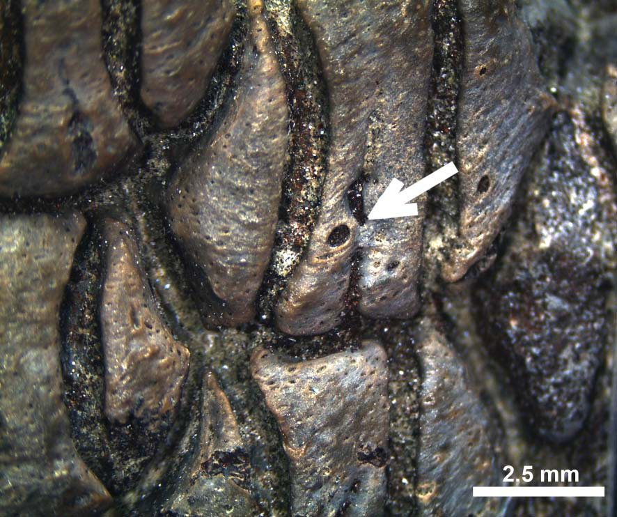 Detail of LAGESE V-00014 in basal view showing partially closed nutritive groove. Labial is at top