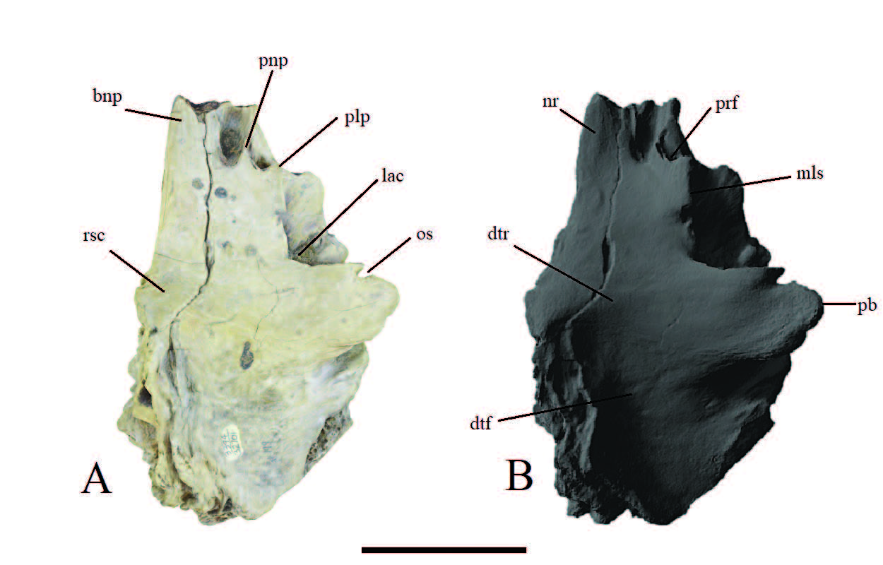 A) SDNHM 32701 and B) 3D-model in dorsal view